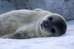 baby seal1