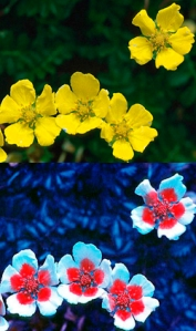 Which photo represents the true image of this particular flower? They are both true.